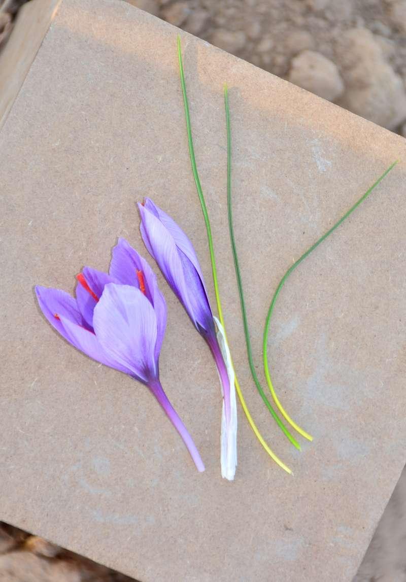 growing saffron in pots