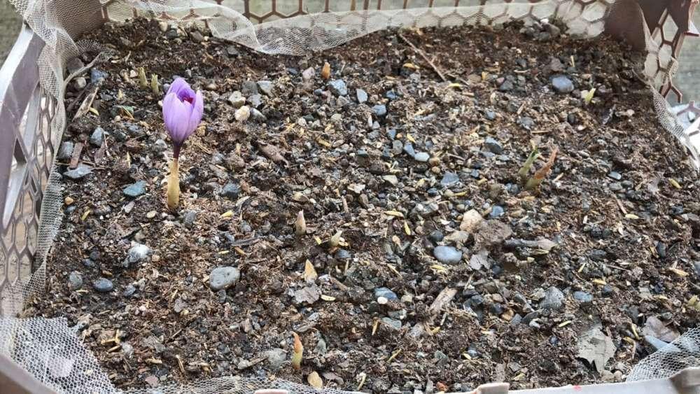 saffron irrigation