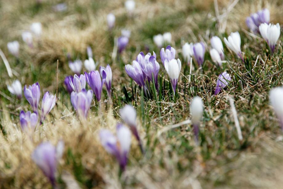 saffron benefits for heart2