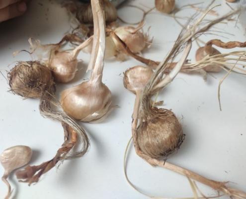 saffron bulbs