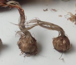 saffron bulbs propagation